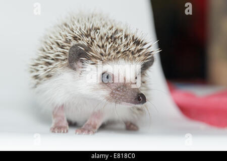 Atelerix albiventris, African pygmy hedgehog. in front of white background, isolated. - Stock Photo