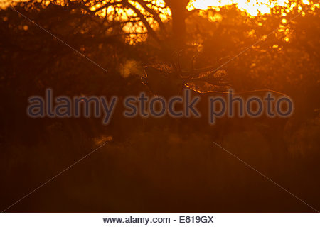 London, UK. 28th Sep, 2014. Richmond Park, London, UK. A Red Deer Stag bellows at sunset during the annual rut. - Stock Photo