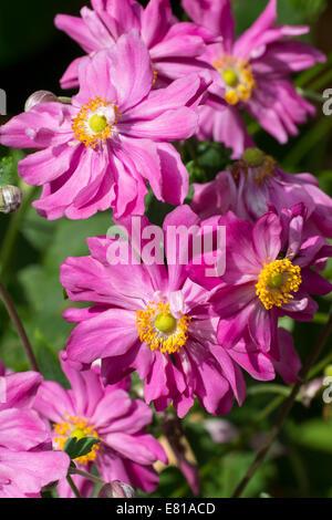 Flowers of the Japanese anemone, Anemone hupehensis var. japonica 'Prinz Heinrich' - Stock Photo