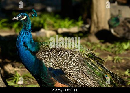 Peacock Standing - Stock Photo