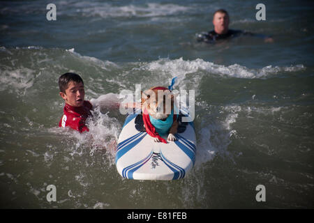 Huntington Beach, CA, USA. 28th September, 2014. A dog competes at Surf City Surf Dog™ annual canine surfing competition. - Stock Photo