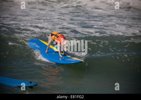 Huntington Beach, CA, USA. 28th September, 2014. A Labradoodle competes at Surf City Surf Dog™ annual canine surfing - Stock Photo