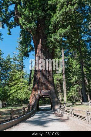 The Chandelier Tree, California Stock Photo, Royalty Free Image ...