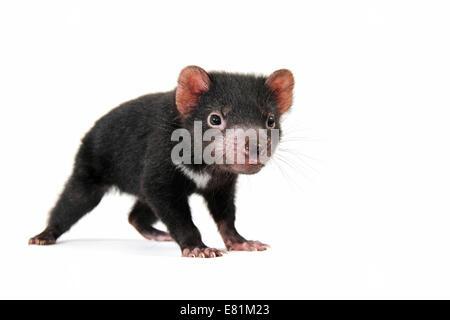 Tasmanian Devil (Sarcophilus harrisii), joey - Stock Photo
