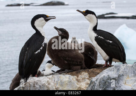 blue-eyed  Antarctic cormorant family near nest  of  the Antarctic island - Stock Photo