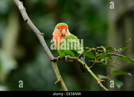 beautiful rosy-faced lovebird (Agapornis roseicollis) at tree top - Stock Photo