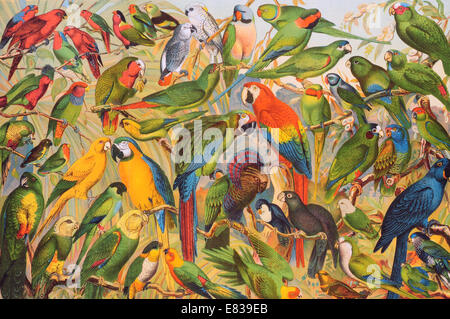 Lithograph parrot parakeet macaw psittacines Psittaciformes