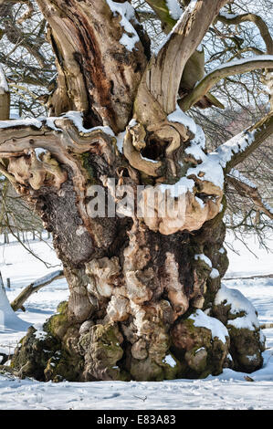 One of the old Sweet chestnut trees (Spanis chestnut) at Croft Castle, Herefordshire, said to be over 300 years - Stock Photo