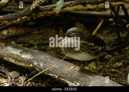 beautiful female Mandarin duck (Aix galericulata) resting on the ground - Stock Photo