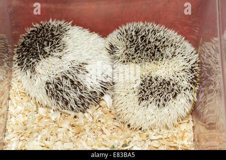 Hemiechinus auritus, Long-eared hedgehog like a pet. - Stock Photo