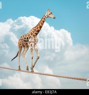 Giraffe balancing on a tightrope - Stock Photo