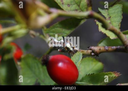 Grey Dagger caterpillar eating leaves on rose hip bush Acronicta psi - Stock Photo