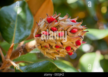 Mature magnolia fruit and seeds (Magnolia grandiflora) - Virginia USA - Stock Photo