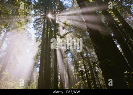 Sunrays through the forest in lady bird Johnson grove - Stock Photo