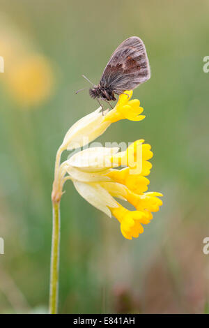 Small Heath Butterfly (Coenonympha pamphilus) on Cowslip (Primula veris), North Hesse, Hesse, Germany - Stock Photo