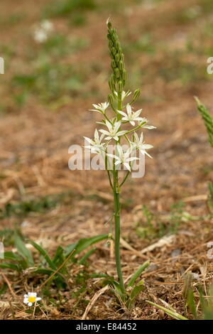 Narbonne Star-of-Bethlehem, Ornithogalum narbonense in flower, Greece - Stock Photo