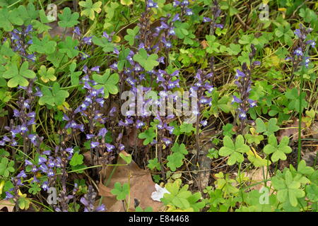 Masses of Branched Broomrape Orobanche ramosa on Bermuda buttercup; Chios, Greece. Stock Photo