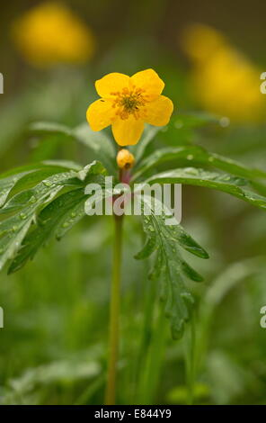 Yellow Anemone, Anemone ranunculoides in flower in early spring, Pyrenees; France. - Stock Photo