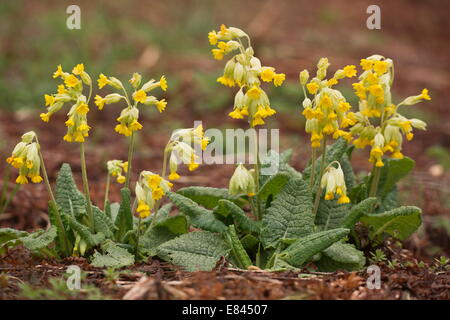 Cowslips, Primula veris, in flower in spring. - Stock Photo