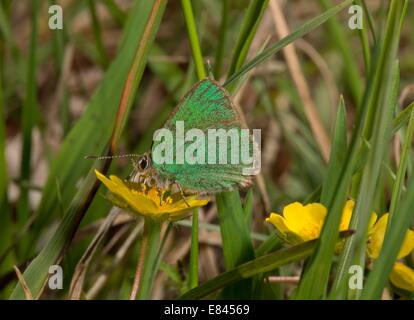 Green Hairstreak butterfly, Callophrys rubi, feeding. - Stock Photo