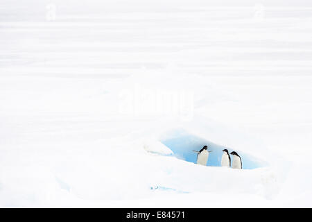 Three Adélie Penguin (Pygoscelis adeliae) on floating sea ice, standing in front of a hole, Ross sea, Antarctica. - Stock Photo