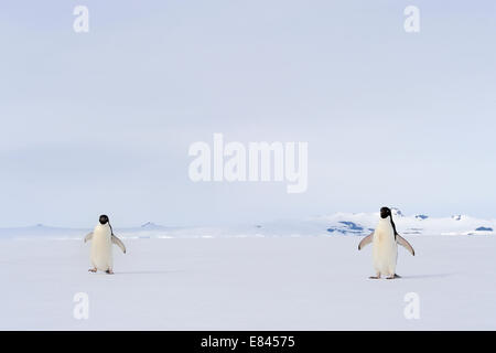 Two Adélie Penguin (Pygoscelis adeliae) on floating sea ice, Ross sea, Antarctica. - Stock Photo