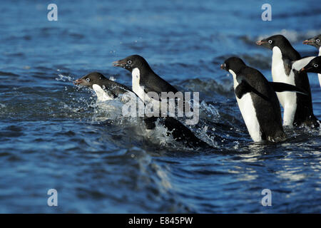 Group of Adélie Penguins (Pygoscelis adeliae) going into the Sea, Cape Adare, Antarctica. - Stock Photo