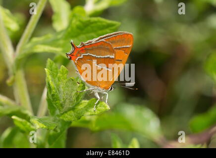 Brown Hairstreak, Thecla betulae female basking, Dorset. - Stock Photo
