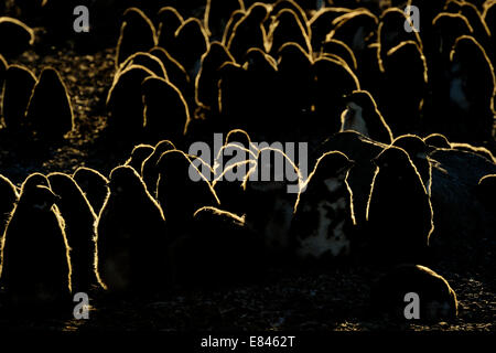 Adélie Penguin (Pygoscelis adeliae) colony with chicks, backlit with blizzard, inaccesible island, Ross sea, Antarctica. - Stock Photo