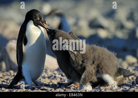 Adélie Penguin (Pygoscelis adeliae) with chick begging for food on beach, inaccesible island, Ross sea, Antarctica. - Stock Photo