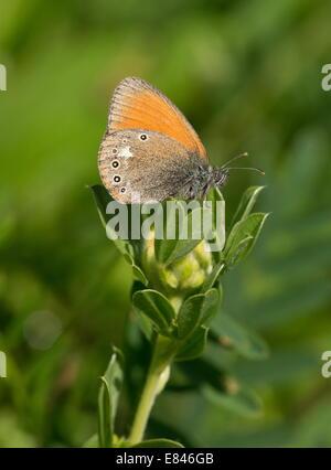 Chestnut Heath butterfly, Coenonympha glycerion perched, in transylvanian grassland; Romania - Stock Photo