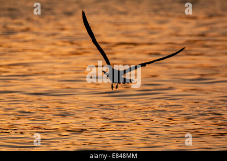 Silhouette of a flying gull over water colored by the glow of a sunset. - Stock Photo