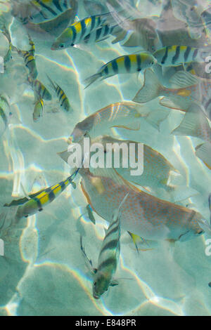 Tropical fish swimming in crystal clear tropical waters. - Stock Photo