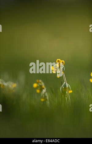 Cowslips Primula veris growing in flower meadow in North Norfolk April - Stock Photo