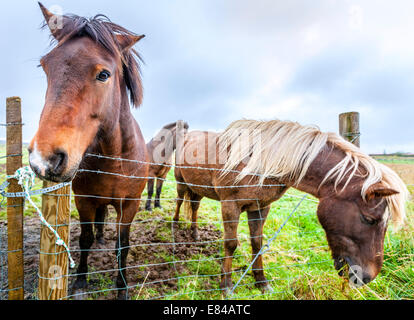 Icelandic Ponies on a farm in Iceland - Stock Photo