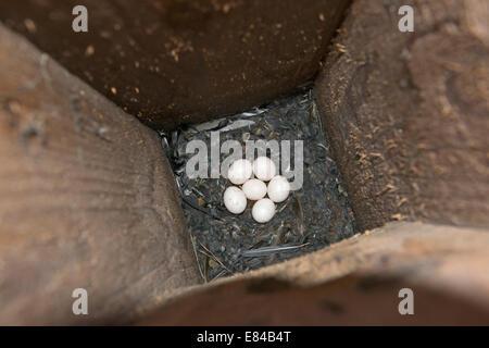 Eurasian Pygmy Owl Glaucidium passerinum eggs inside nest box Finland April - Stock Photo