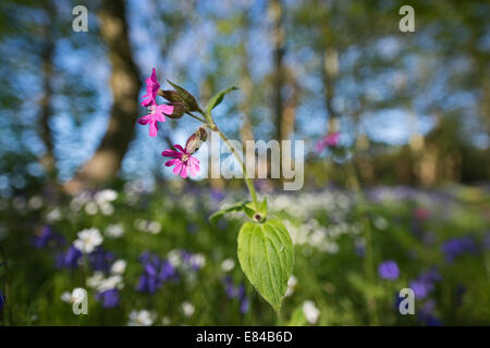 Red Campion Silene dioica Thursford Wood North Norfolk spring - Stock Photo