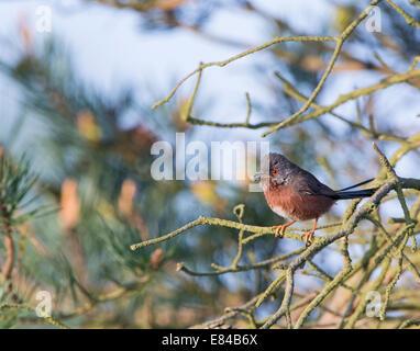 Dartford Warbler Sylvia undata bringing food back to nest North Norfolk May - Stock Photo