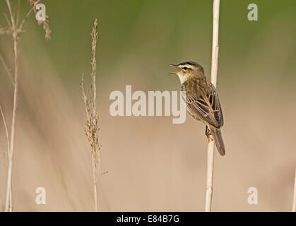 Sedge Warbler Acrocephalus schoenobaenus in song  Cley NWT Norfolk May - Stock Photo