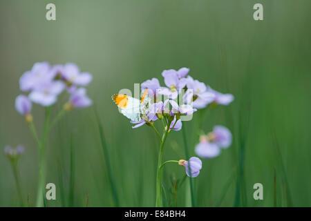 Orange-tip Butterfly Anthocharis cardamines on Cuckoo flower Cley Norfolk - Stock Photo