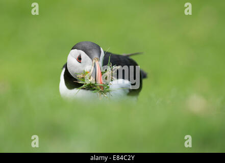Atlantic Puffin Fratercula arctica with nest material Hermaness NNR Unst Shetland - Stock Photo