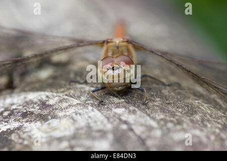 Frontal view of female common darter dragonfly, Sympetrum striolatum, at rest on an old railing - Stock Photo