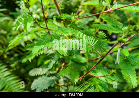 Close up of leaves of the Sensitive Plant (Mimosa pudica) - Stock Photo
