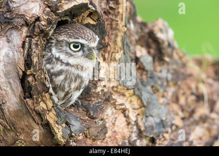 Little Owl (Athene noctua) peering out of a  nest hole in a tree trunk - Stock Photo