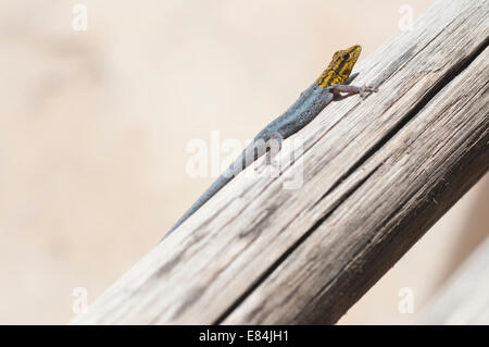 An East African Dwarf Yellow-headed Gecko resting on wooden beam in Dar es Salaam, Tanzania - Stock Photo