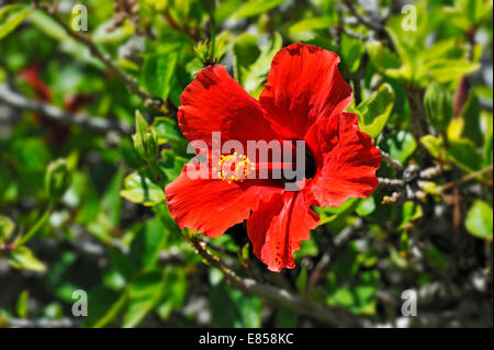 Red Hibiscus flower (Hibiscus), Windhoek, Namibia - Stock Photo