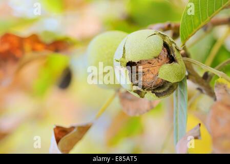 ripe walnut  on a tree - Stock Photo