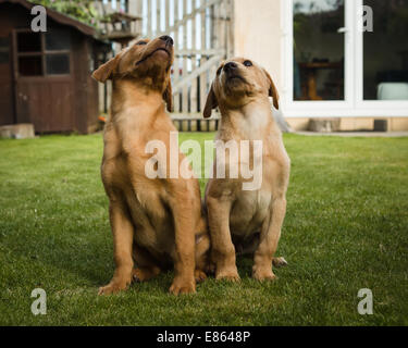 Yellow labrador retriever puppies, a brother and sister sitting together in a household garden. - Stock Photo