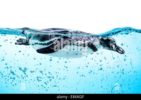 Humboldt Penguin (Spheniscus humboldti) also termed Peruvian Penguin, or Patranca, swimming in the clear water. - Stock Photo