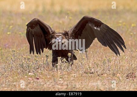 Eurasian Black, Cinereous or Monk Vulture - Aegypius monachus - juvenile - Stock Photo